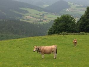 Happy cows.